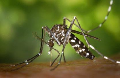 """El """"mosquit tigre"""" a Santa Cristina"""