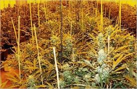 L´olor de marihuana en destapa una plantació a Sant Feliu