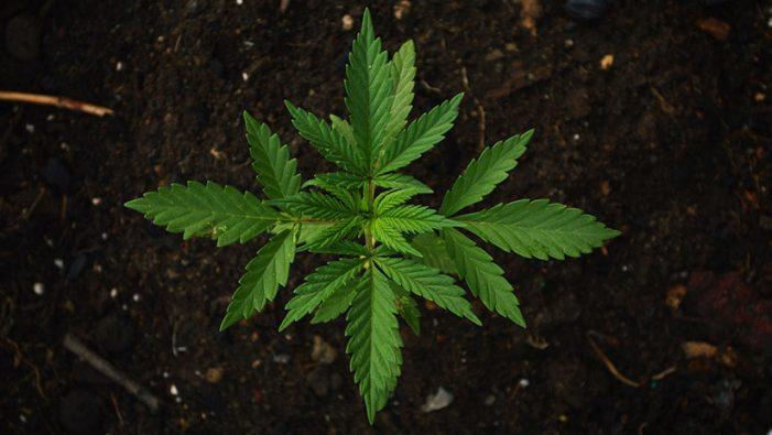 Colpegen violentament i roben el propietari d'una plantació de marihuana a Santa Cristina
