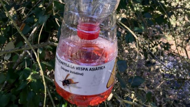 Santa Cristina d'Aro instal·la trampes per a vespes asiàtiques
