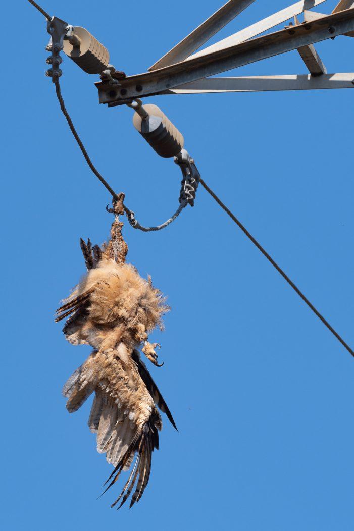 El Grup de Natura Sterna denuncia la mort d'un altre duc electrocutat a Castell d'Aro