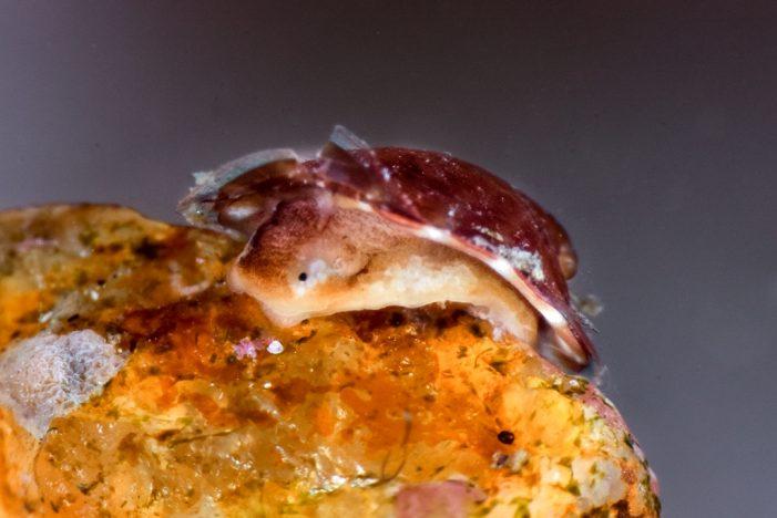 Per primer cop al món, fotografiat a Sant Feliu de Guíxols un exemplar viu de l'espècie de mol·lusc Williamia gussoni