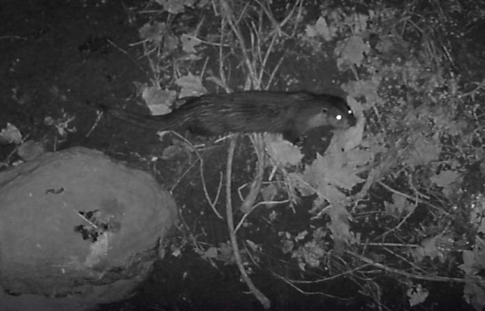 El Grup de Natura Sterna obté imatges de dos exemplars de llúdriga a la llera del Ridaura